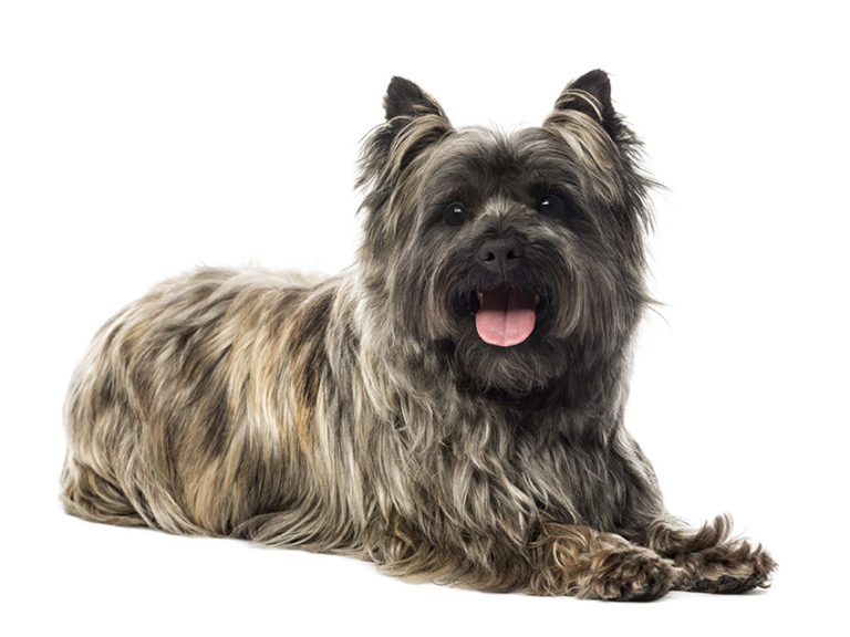 photo cairn terrier chiot