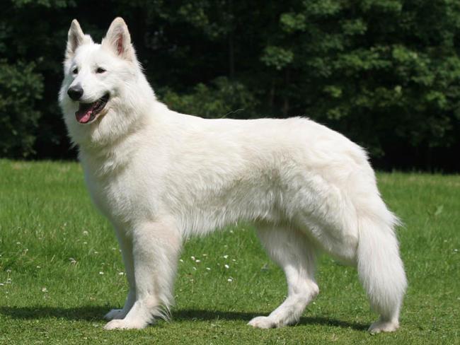 photo chien blanc