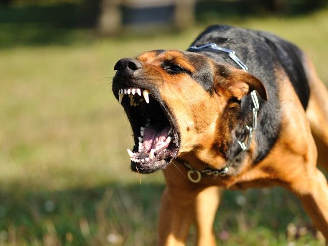 photo chien féroce
