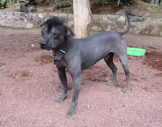 photo chien nu mexicain