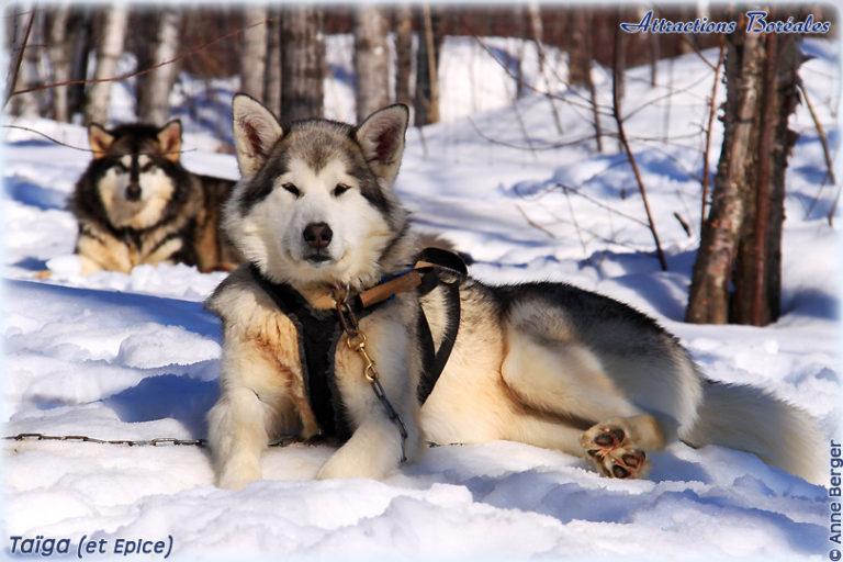 photo chien de traineau