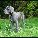 Dogue allemand gris