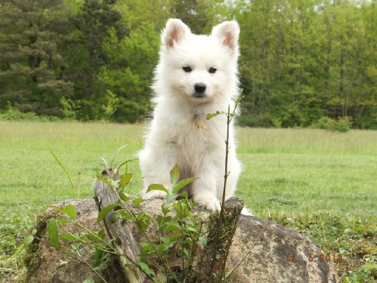 photo berger blanc suisse chiot