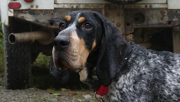photo chien de chasse