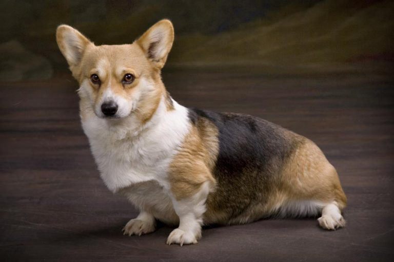 photo welsh corgi pembroke