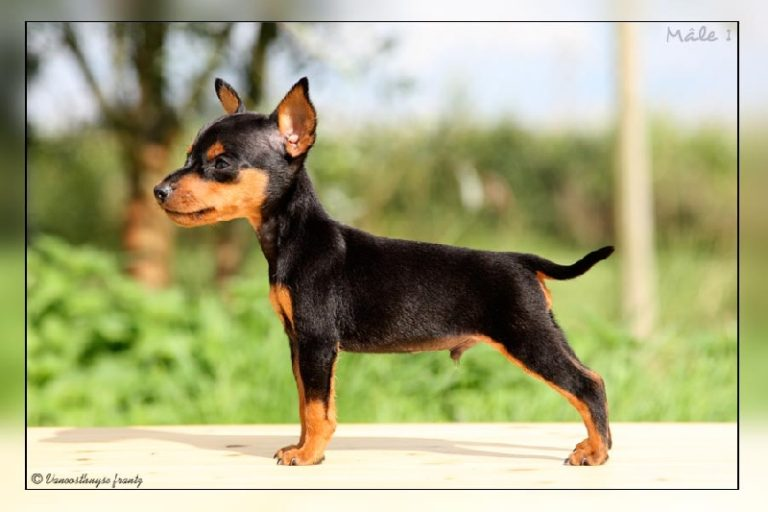 photo pinscher nain chiot