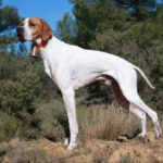 Pointer anglais chiot