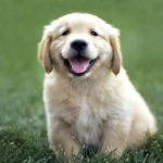 Retriever Golden