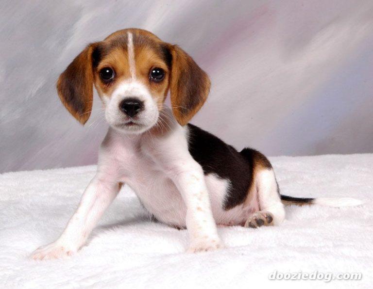 photo beagle chiot