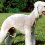 Bedlington terrier chiot