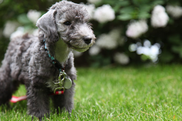 photo bedlington terrier chiot