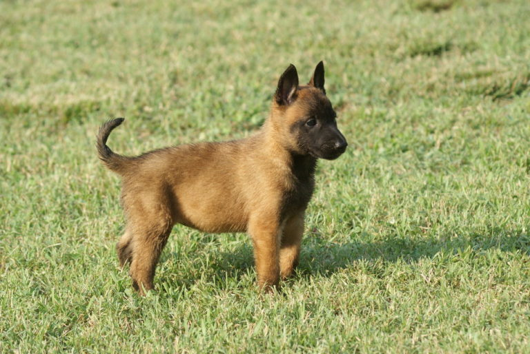 photo berger belge chiot