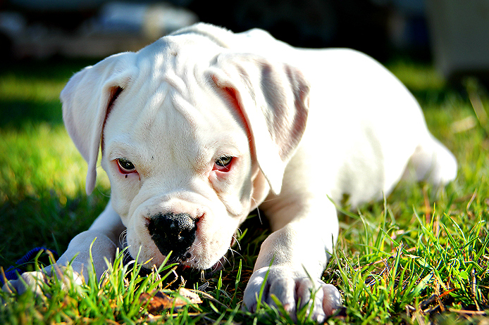 photo chien boxer blanc