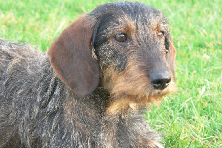 photo chien courant de bosnie à poil dur – barak chiot