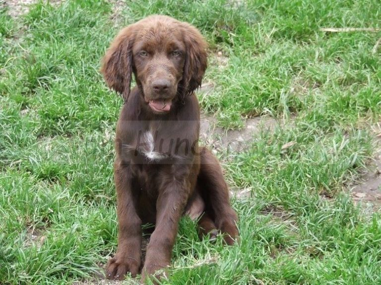 photo chien d'arrêt allemand à poil long