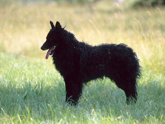 photo chien de berger de croatie chiot