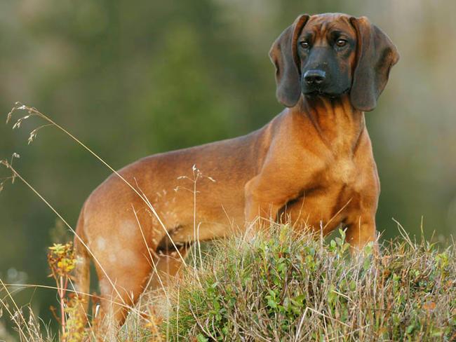 photo chien de rouge de bavière
