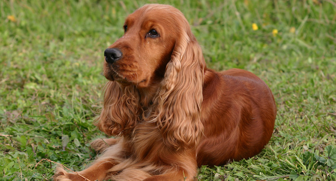 photo cocker spaniel anglais