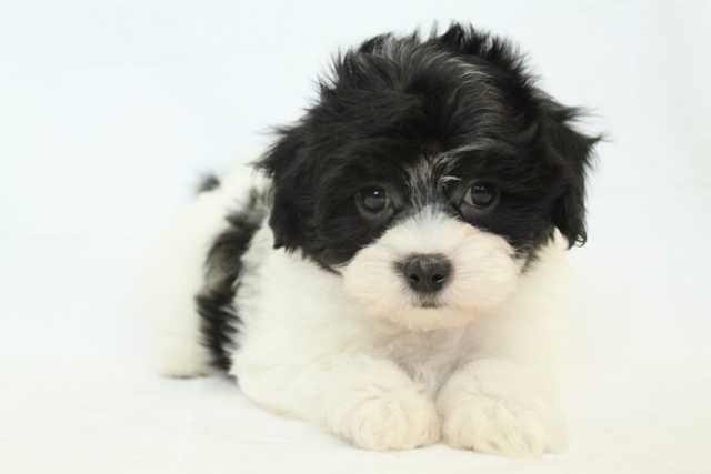photo coton de tulear noir