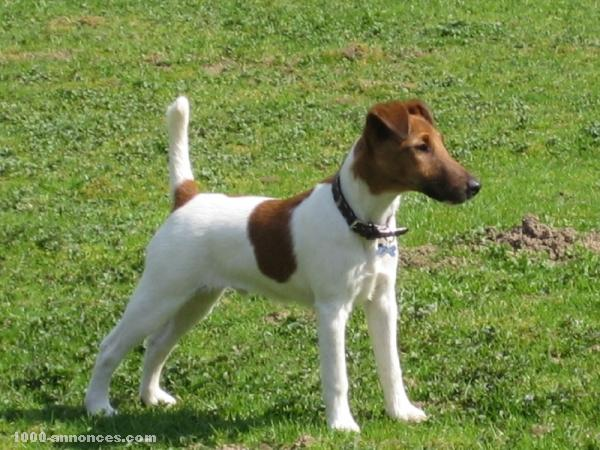 photo fox terrier à poil lisse chiot