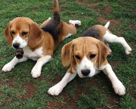 photo foxhound américain chiot