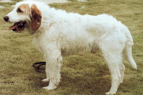 photo chien courant d'istrie à poil ras