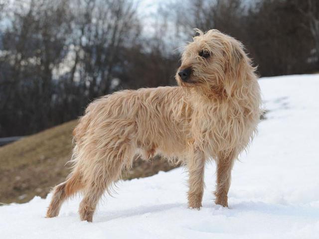 photo chien courant italien à poil dur