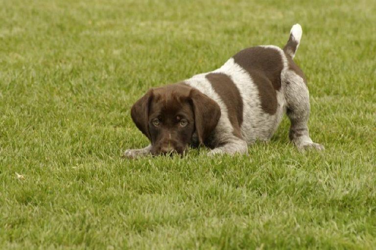 photo chien d'arrêt allemand à poil dur