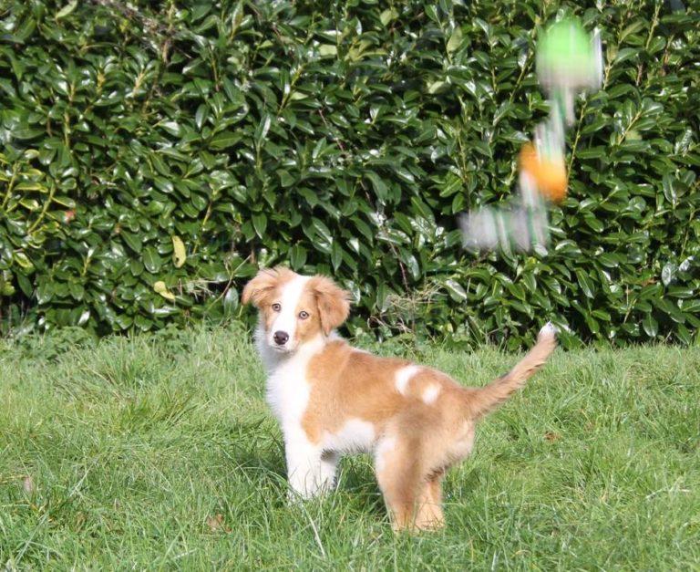 photo chien de berger auvergnat chiot
