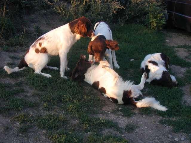 photo chien de perdrix de drente