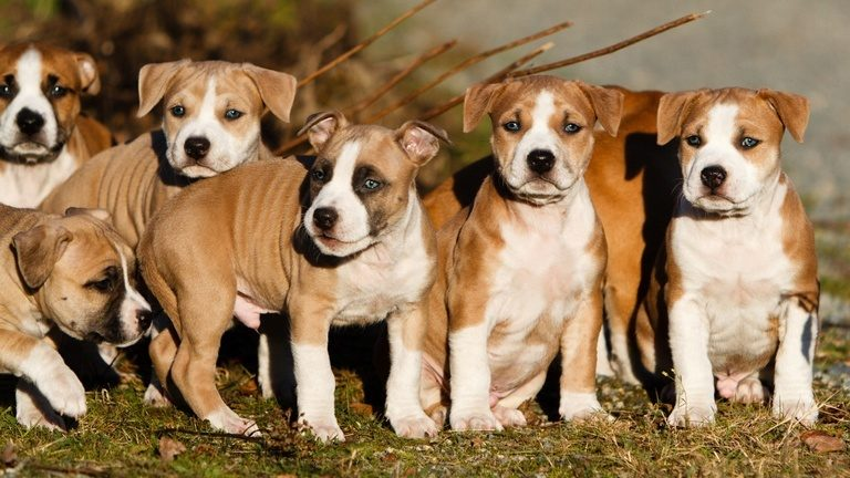 photo staffordshire terrier américain