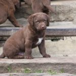 Retriever de la baie de Chesapeake chiot