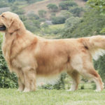 Retriever Golden chiot