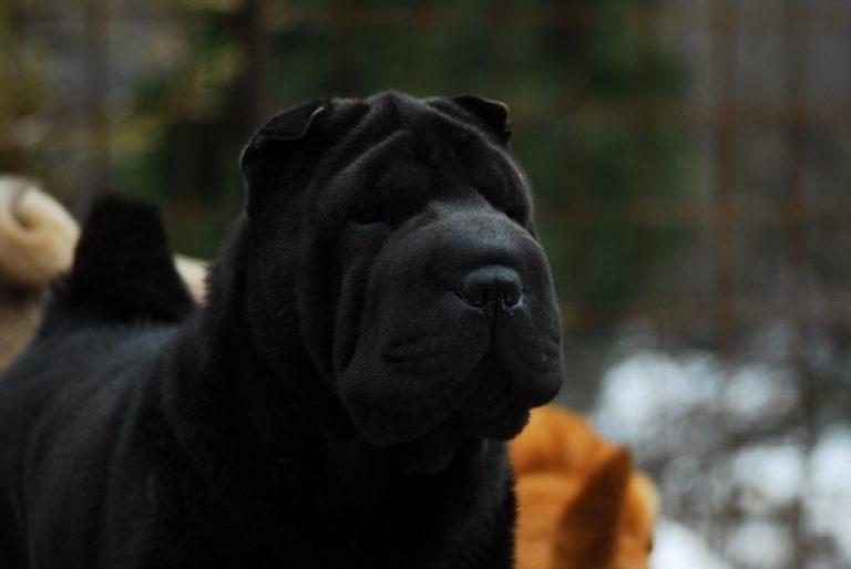 photo sharpei noir