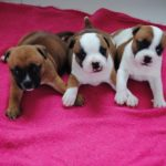 Staffordshire bull terrier rouge