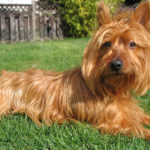 Terrier australien chiot