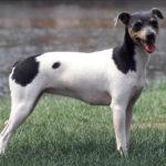 Terrier brésilien chiot