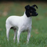 Terrier japonais chiot