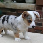 Welsh Corgi Cardigan chiot