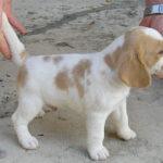 Beagle lemon