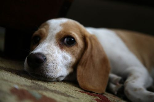 photo beagle lemon