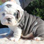 Bulldog anglais bleu