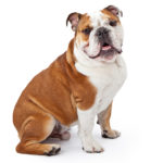 Bulldog chiot