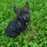 Cairn terrier noir