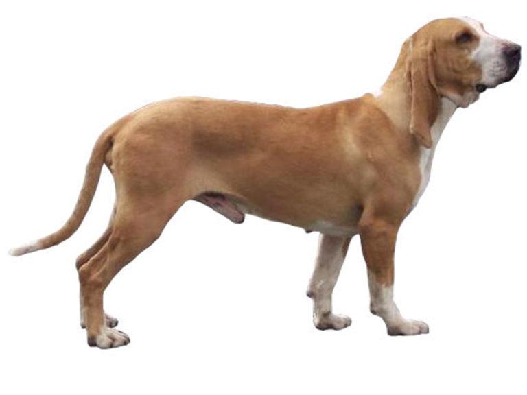 photo chien courant de hamilton chiot