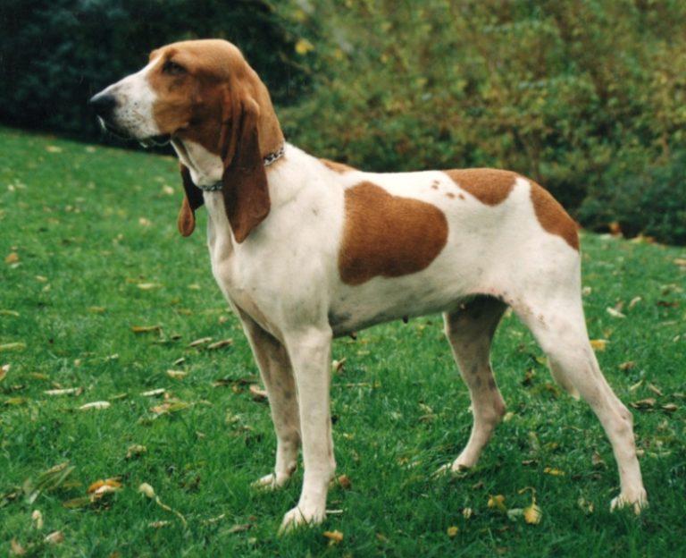photo chien courant tricolore serbe chiot