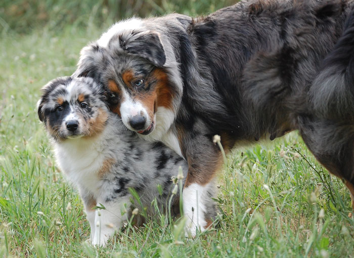 photo chien de berger australien chiot
