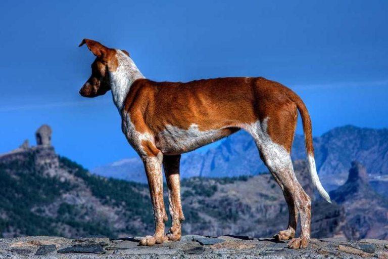 photo chien de garenne des canaries chiot