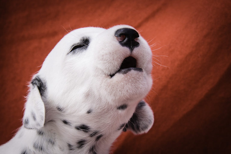 photo dalmatien chiot