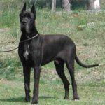 Dogue allemand noir